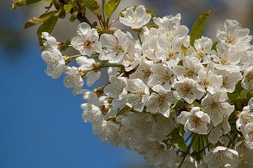 Cherry Blossom, Flowering Twig, Spring