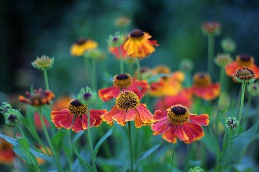 Helenium Waltraut, Rosilla, Summer, Flowers, Orange