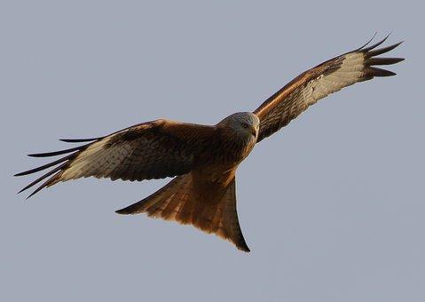 Red Kite, Flying, Soaring, Predator, Bird Of Prey