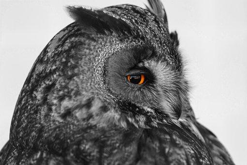 Owl, Bird, Eye, Focus, Nocturnal