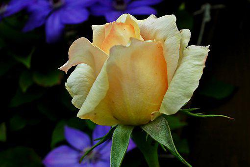 Rose, Flower, Tea, Blossoming, Plant, Beauty, Garden