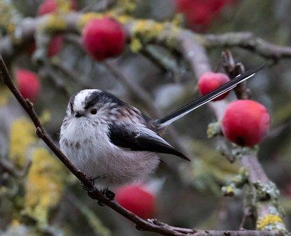Long Tailed Tit, Pink Tit, Songbird, Garden Bird