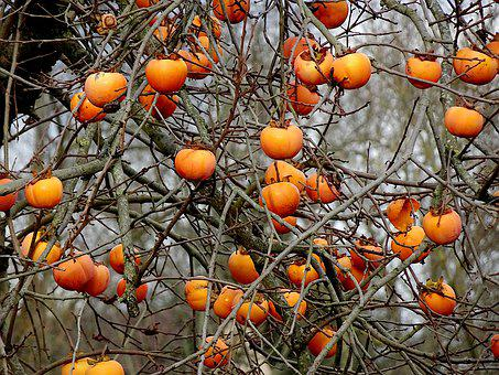 Fruit, Khaki, Persimmon, Color Orange, Fall, Garden