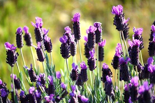 Lavender, Spring, Flowers, Garden, Nature, Plant
