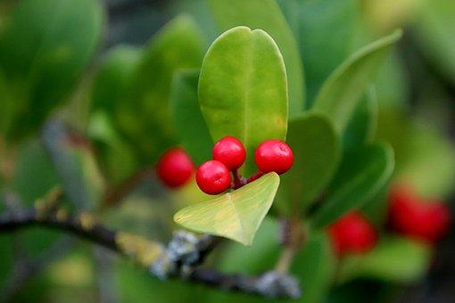Fruit, Bright Red Color, Shrub, Plants, Garden