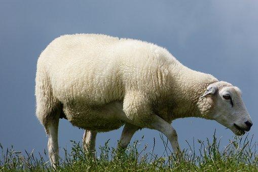 Sheep, Dike, Grass, Wool, Lamb, Animal, East Frisia