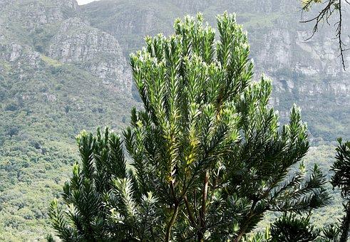 Tree, Silverleaf, Indigenous, Table Mountain