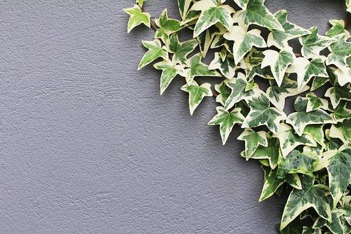 Ivy, Hedera Helix, Leaves, Hedera, Nature, Leaf, Plant