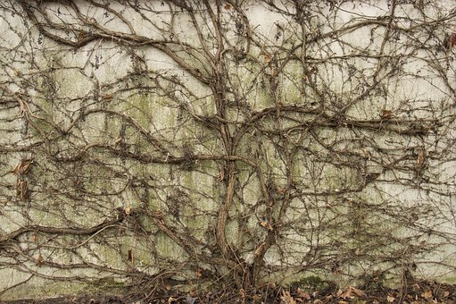 Ivy, Wall, Creeper, Vines