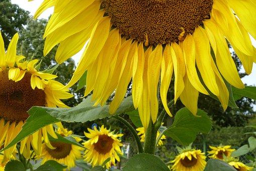 Summer, Sunflower, Yellow, Joy