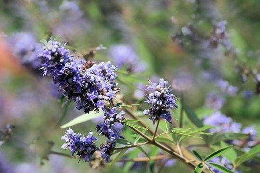 Lavender, Purple, Flowers, Violet, Herbs, Green