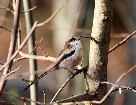 Long Tailed Tit, Small, Tree, Bird, Feather, Aesthetic