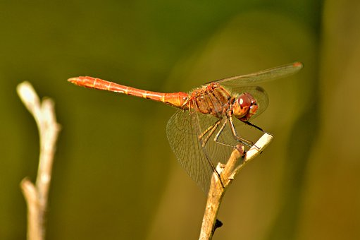 Dragonfly, Summer, Garden, Insect, Macro