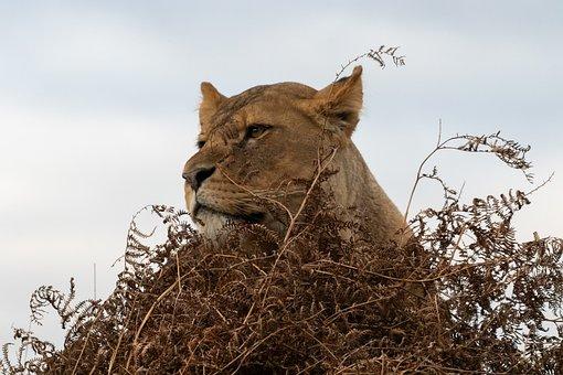 Lioness, Mother, Hunter, Pack, Lion, Feline, Carnivore