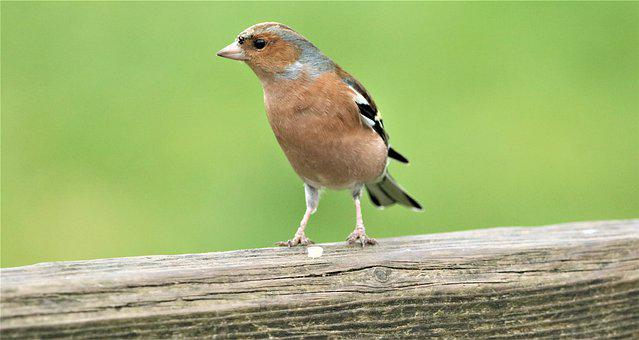Chaffinch, Bird, Wildlife, Nature, Animal, Small, Finch