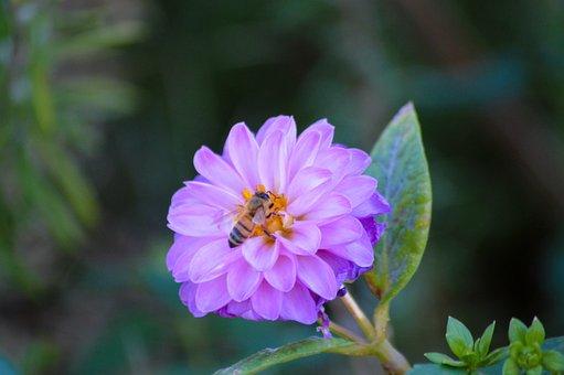 Flower, Bee, Purple, Nature, Lavender, Garden, Bloom