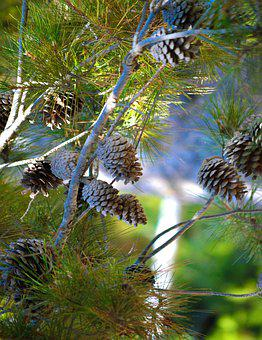 Pinecones, Tree, Branches, Nature, Fir, Green