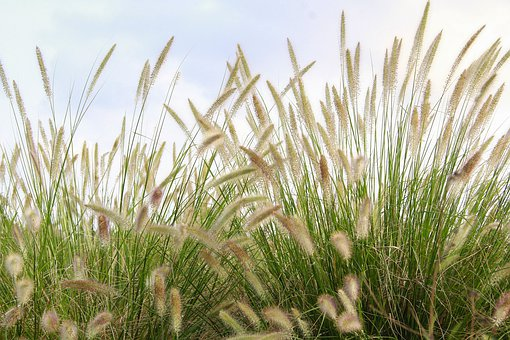 Nature, Wildflowers, Reed Grass