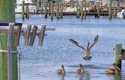 Sea Birds, Pelicans, Nature, Ocean, North Carolina