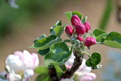 Apple, Fruit Trees, Orchard, Flower Buds