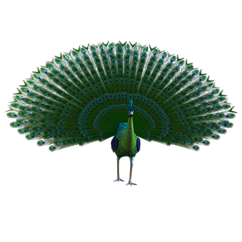 Peacock, Feathers, Vibrant, Colorful, Plumage, Nature