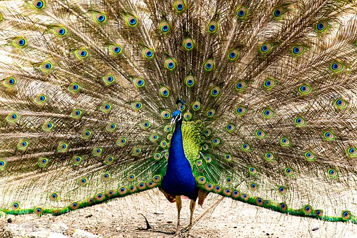 Bird, Peacock, Nature, Plumage, Colorful, Pen