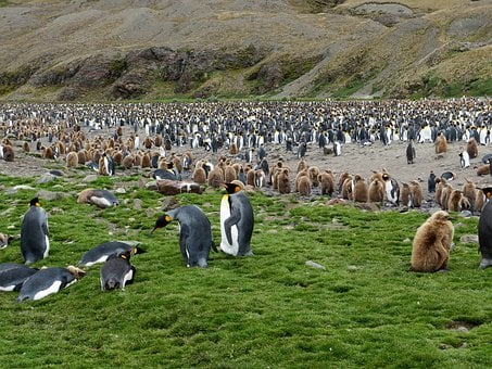 South Georgia, King Penguins, Penguin Colony