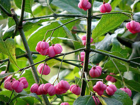 Fruit, Color Pink, Plants, Shrubs, Garden, Gardening