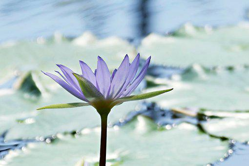 Water Lily, Pond, Flower, Blossom, Bloom, Purple
