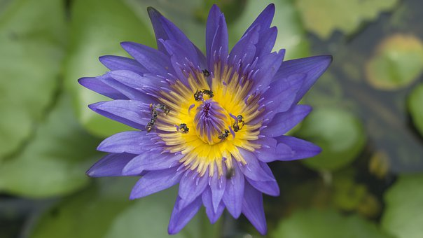 Lotus, Bee, Nature, Plants, Summer, Pond, Insects