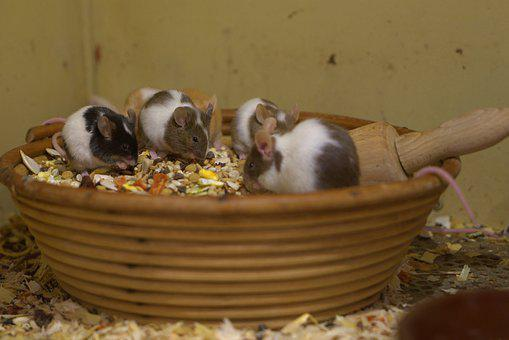 Mouse, Eat, Nager, Cute, Rodent, Fur, Food, Animal