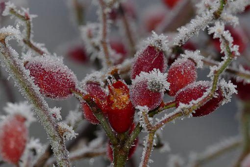 Rose Hip, Eiskristalle, Frost, Frozen, Cold, Iced, Red