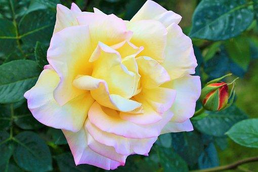 Rose, Spring, White, Nature, Flower, Pink, Romantic