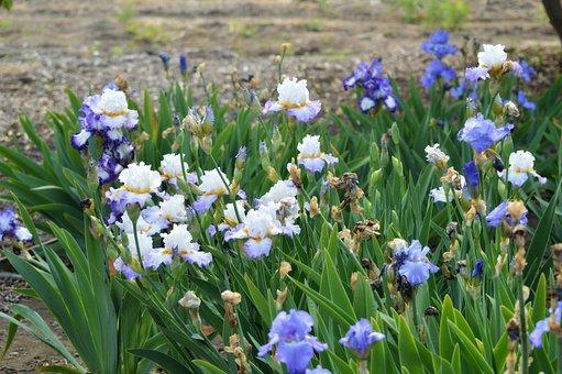 Iris, Garden, Blossom, Nature, Spring, Flowers, Blue