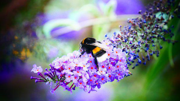 Bee, Bumblebee, Summer, Nature, Honey, Bug, Bees