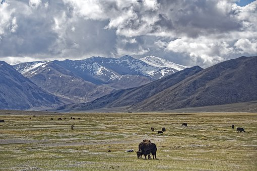 Tajikistan, Mountain-badakhshan, Pasture, Yak, Animals