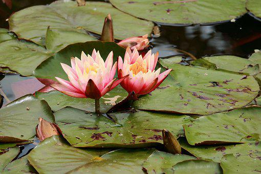 Garden, Flower, Water Lily, Pond, Water Plant, Blossom