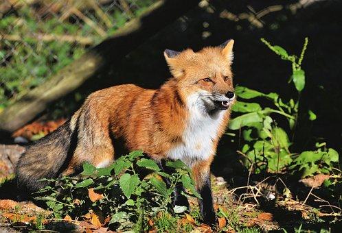 Red Fox, Fuchs, Wild Animal, Predator, Animal