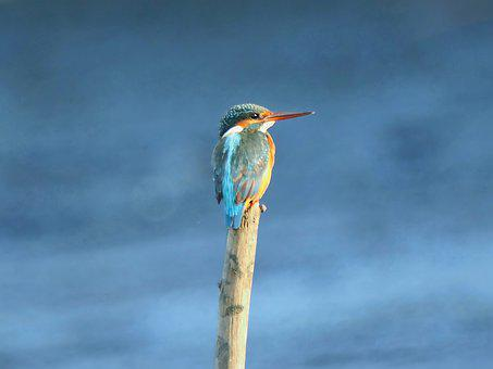 Common Kingfisher, Perch, Wild, Bird, Wildlife, Outdoor