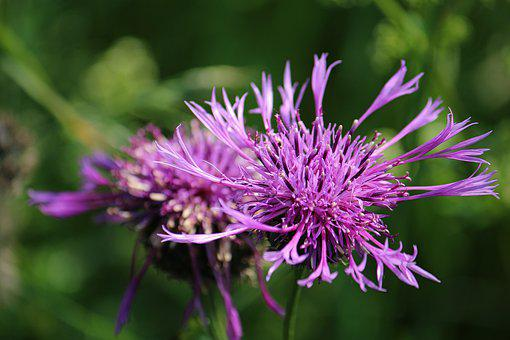 Knapweed, Meadow, Flower Meadow, Wild Flower, Spring