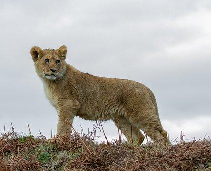 Lion Cub, Baby Lion, Young Lion, Captive, Predator