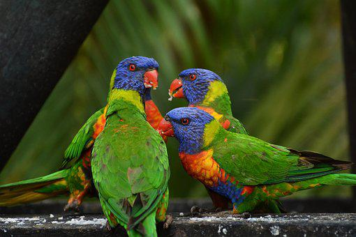 Rainbow Lorikeet, Colorful, Birds, Blue, Yellow, Green