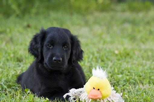 Dog, Puppy, Black, Flat-coated Retriever, Animal, Pet