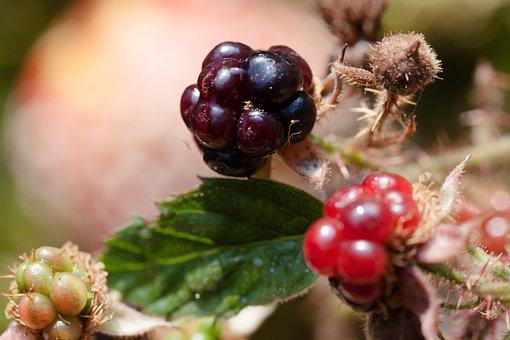 Blackberries, Rubus Sectio Rubus, Wildwachsend, Genus