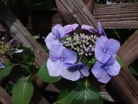 Ornamental Plant, Blossom, Bloom, Hydrangea Spec