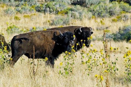 Bison, Wildlife, Animal, Nature, Mammal, Fur, Brown