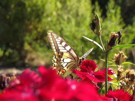 Butterfly, Flamed, Nature