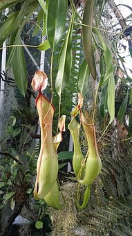 Pitcher Plant, Fly Trap, Pitcher, Fly, Carnivorous