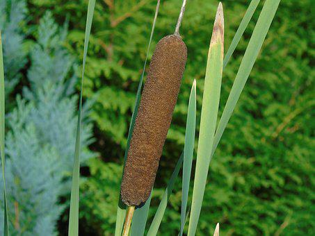 Reed, Cattail, Aquatic Plant, Nature