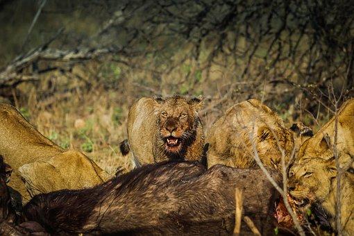 Lions, Mammal, Wildlife, Feline, Lion, Daytime